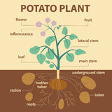 Illustration showing parts of potato platnt Stock Images