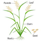 An illustration showing parts of a rice plant. royalty free illustration