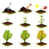 Flat vector illustration showing plant growing stages. Process from planting seeds to tree with ripe apples. Gardening. Illustration showing plant growing stages royalty free illustration
