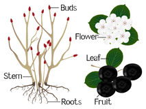 The illustration shows part of the black chokeberry Aronia melanocarpa plants. Royalty Free Stock Image