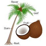 The illustration shows part of the coconut plant. The illustration shows part of the coconut plant, beautiful illustration stock illustration