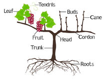 The illustration shows part of the grape plants. Stock Photo