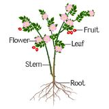 The illustration shows part of the rosehip of the plant. The illustration shows part of the rosehip of the plant, beautiful illustration stock illustration