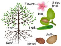 The illustration shows parts of the almond plant. The illustration shows parts of the almond plant, beautiful illustration royalty free illustration