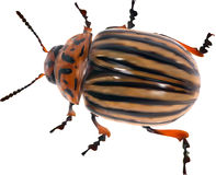 Illustration with single colorado potato beetle Royalty Free Stock Photography