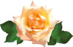 Isolated single light cream rose bloom Royalty Free Stock Photography