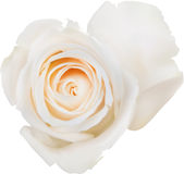 Illustration with single isolated white rose bloom Royalty Free Stock Image
