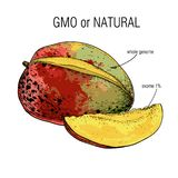 Illustration of Sketch mango. Sample of genome isolation from the whole. Concept for Genetically modified fruit and. Vector illustration of Sketch mango. Sample vector illustration