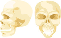 Illustration skull bone. On a white background Royalty Free Stock Photo