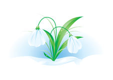 Illustration of snowdrops. Illustration of beautifully spring flowers - snowdrops Royalty Free Stock Image