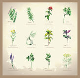 Illustration Spicy and curative herbs. Stock Photos