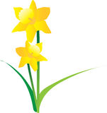 Illustration of spring daffodils on a white backgr Stock Photo