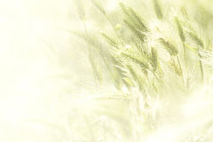 Illustration of a spring wheat field Royalty Free Stock Images