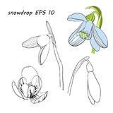 Illustration of stylized First spring flowers. Isolated graphic blooming snowdrops, Galanthus nivalis for logo. Vector illustration of stylized First spring Royalty Free Stock Image