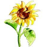 Illustration of sun flower Stock Images