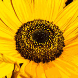 Illustration of sunflower Royalty Free Stock Images