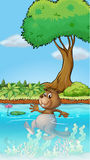 A swimming beaver Royalty Free Stock Images