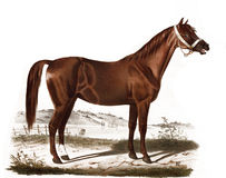 Illustration of thoroughbred horses. Album breeders with portraits of factory Jerez. - SPB., 1847 Royalty Free Stock Images