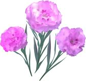 Three pink flowers isolated on white Stock Photos