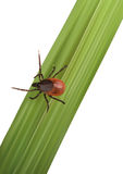 Illustration of a Tick on gras Royalty Free Stock Image