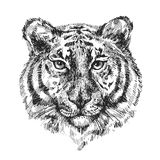 Illustration with tiger. Sketch vector illustration with tiger. Drawing by hand Stock Photography