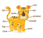 Illustration of tiger vocabulary part of body. Vector Royalty Free Stock Image