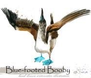 illustration tirée par la main d'aquarelle d'idiot Bleu-aux pieds illustration libre de droits