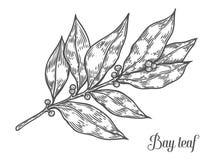 Illustration tirée par la main d'herbe de feuille de laurier de vecteur frais d'usine sur le fond blanc illustration stock
