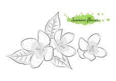 Illustration tirée par la main d'isolement de vecteur de fleur de jasmin Photographie stock libre de droits