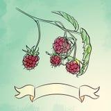 Illustration tirée par la main de framboise Photographie stock libre de droits