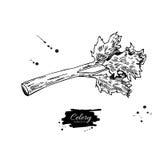 Illustration tirée par la main de vecteur de bâton de céleri Objet d'isolement de style gravé par légume Dessin végétarien détail Image libre de droits