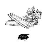 Illustration tirée par la main de vecteur de bâton de céleri Objet d'isolement de style gravé par légume Dessin végétarien détail Photographie stock libre de droits