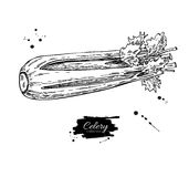 Illustration tirée par la main de vecteur de céleri Objet de style gravé par légume Nourriture végétarienne détaillée Photographie stock