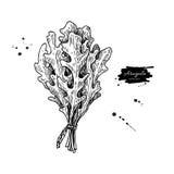 Illustration tirée par la main de vecteur de groupe de feuille d'Arugula Objet d'isolement de style gravé par légume Images libres de droits