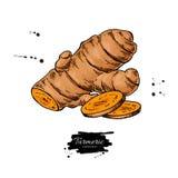 Illustration tirée par la main de vecteur de racine de safran des indes Safran des Indes illustration stock