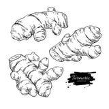Illustration tirée par la main de vecteur de racine de safran des indes Croquis de safran des Indes illustration libre de droits