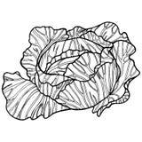 Illustration tirée par la main noire et blanche de chou illustration libre de droits