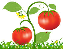 Illustration of Tomato. Vector illustration bush with red tomatoes growing on a green glade Royalty Free Stock Images