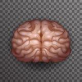 Illustration transparente de vecteur de conception de maquette de calibre d'icône de fond d'affiche de Brain Realistic 3d d'humai Images libres de droits