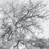Illustration of tree. Illustration of bark, tree branches and sky Royalty Free Stock Photography