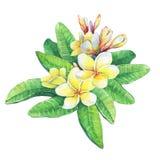 Illustration of tropical resort flowers frangipani plumeria. royalty free illustration