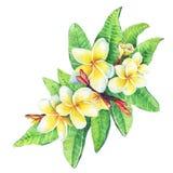 Illustration of tropical resort flowers frangipani plumeria.