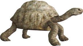 Turtle, Tortoise, Wildlife, Nature, Isolated royalty free stock photos