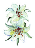 Illustration of two flowers of white lilies Royalty Free Stock Images