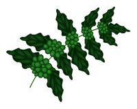 An Illustration of Unripe Coffee Berries on Branch Stock Image