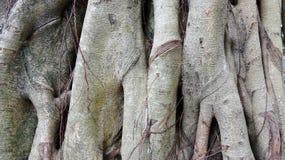 Illustration vaillante de fond de racine d'eucalyptus image libre de droits