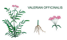 Illustration of Valeriana officinalis Royalty Free Stock Images
