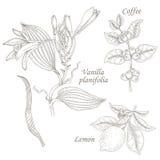 Illustration of vanilla, coffee, lemon. Stock Photos
