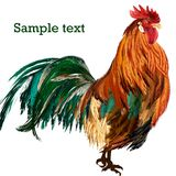 Illustration of vector cockerel with colorful feathers Royalty Free Stock Photography