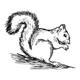 Illustration vector hand draw doodles of squirrel isolated on wh Stock Photos